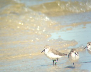 Western Sandpiper banded on 3/19/13 at Dauphin Island, AL. Resighted on 10/8/13 in the same location.